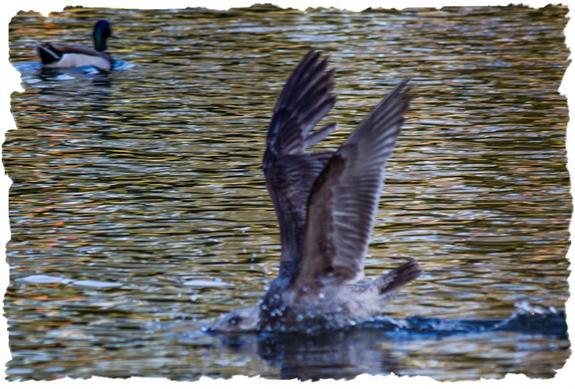 Gull diving for breakfast