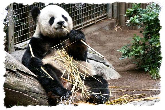 Giant panda at the San Diego Zoo
