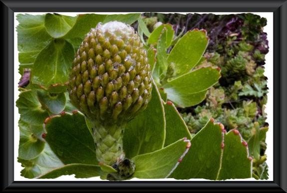 Leucospermum 'high gold'