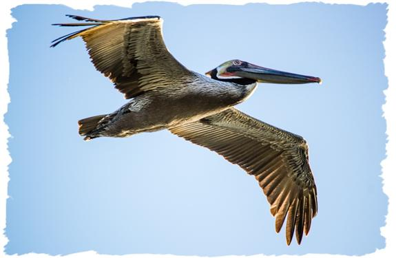 Brown pelican off to chase the fishing boats