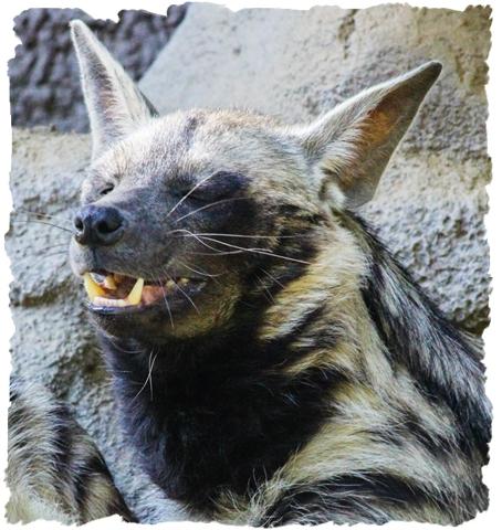 Sudanese Striped Hyena