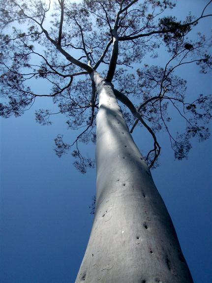 Staring up at a eucalyptus