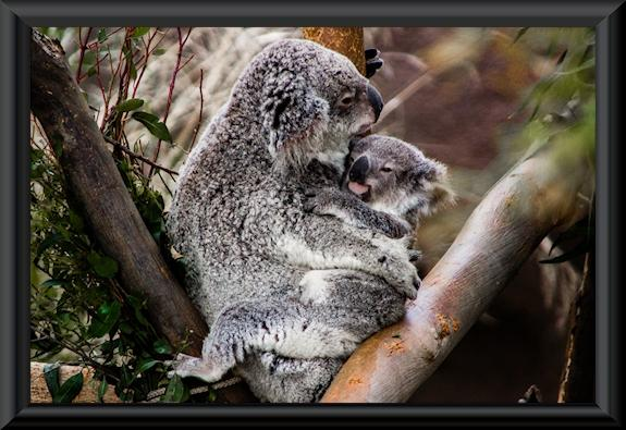 Koala female and one-year-old joey at the San Diego Zoo