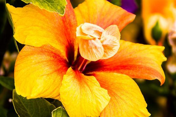 Picture 12 - Hibiscus