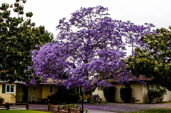 Picture 7 - Biggest, baddest Jacaranda I've ever seen