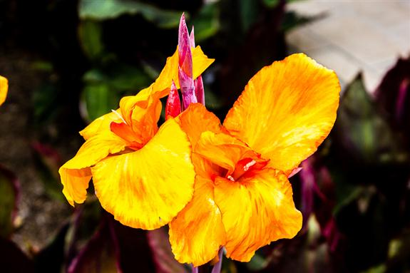 Picture 9 - Canna lily
