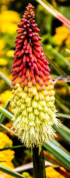 Picture 1 - Aloe