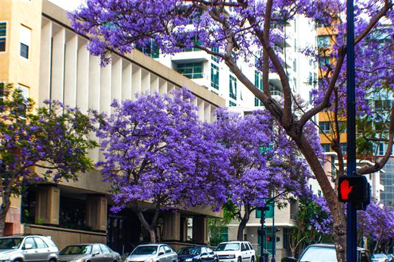 Jacarandas on Ash Street in downtown San Diego
