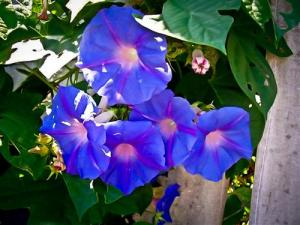 Morning glory, my wise old grandmother's favorite flower