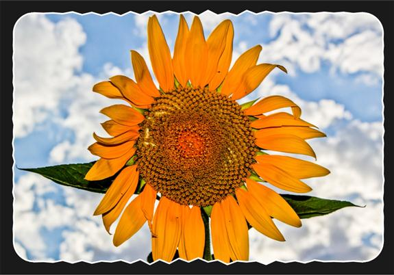 Sunflower on campus of San Diego State University