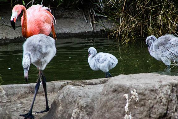 Baby flamingos practicing walking around
