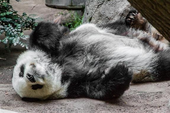 Gian Panda Gao Gao at the San Diego Zoo