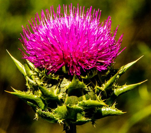 Thistle from out in the boondocks