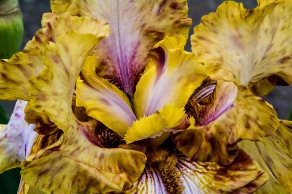Iris from Weidner's Gardens