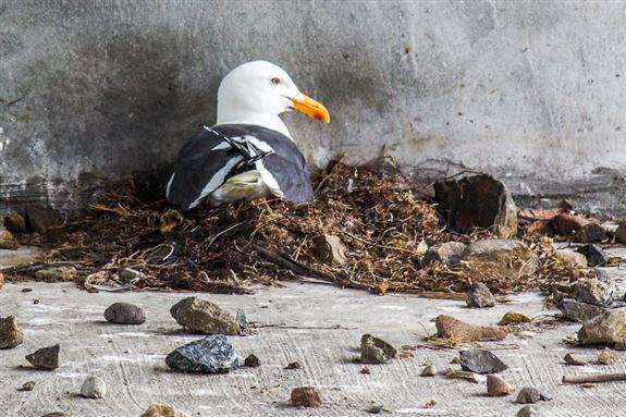 Gull nest