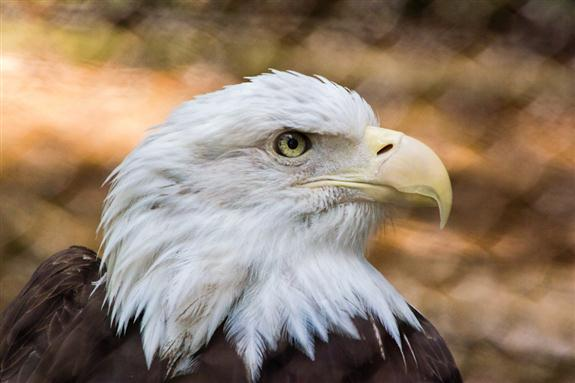 Bald eagle in residence at the San Diego Zoo Safari Park