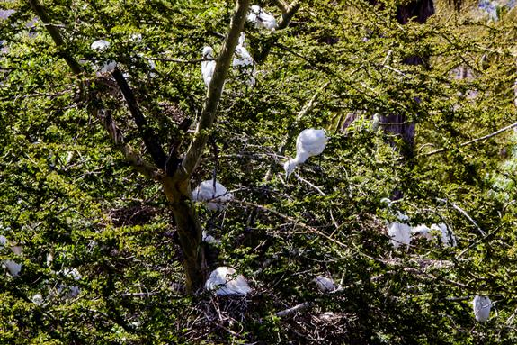 Nesting egrets at the San Diego Zoo Safari Park