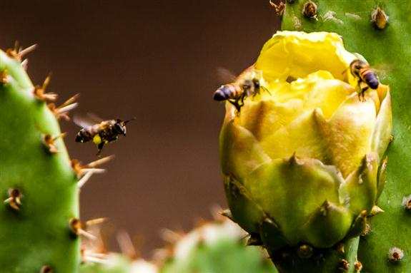Bees arriving at a cactus flower