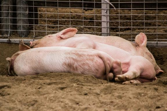 Piglets at the San Diego County Fair
