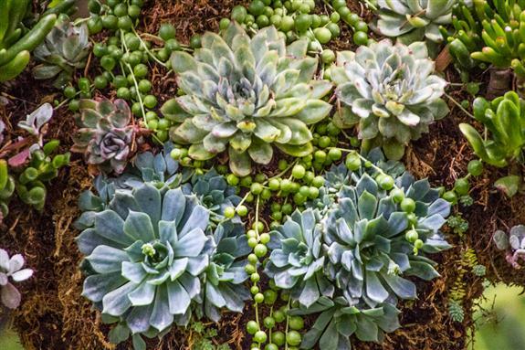 Succulent Topiary at San Diego Botanic Garden