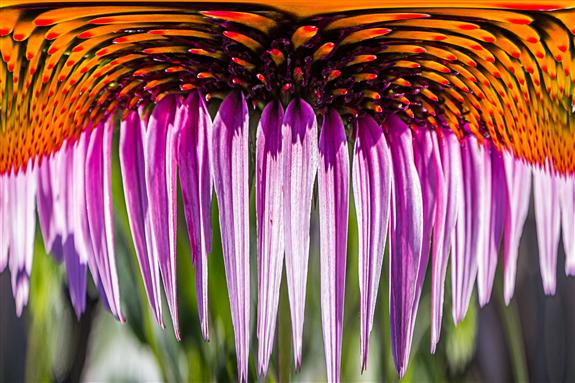Coneflower Dripper