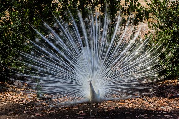 White peacock at Leo Carrillo Historic Ranch in Carlsbad, California