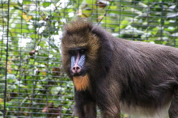 Mandrill at the San Diego Zoo