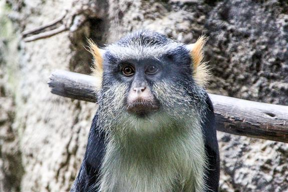 Wolf's Guenon at the San Diego Zoo
