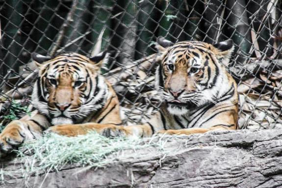 Malayan tigers at the San Diego Zoo