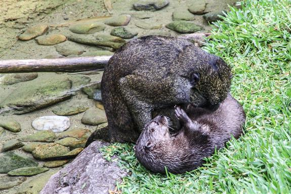 Monkey and otter playing at the San Diego Zoo