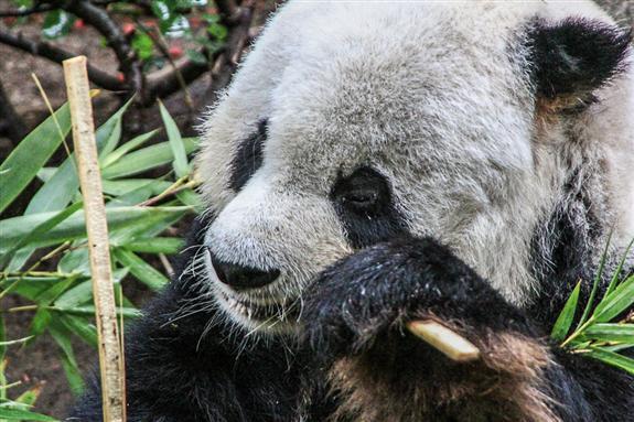 Gao Gao, giant panda at the San Diego Zoo