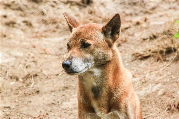New Guinea Singing Dog at the San Diego Zoo