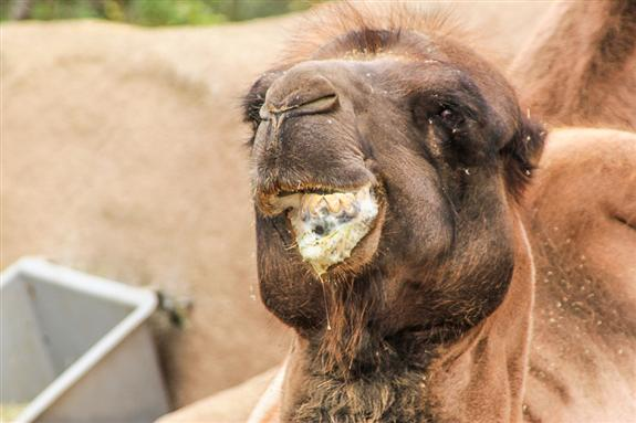 Bactrian Camel at the San Diego Zoo