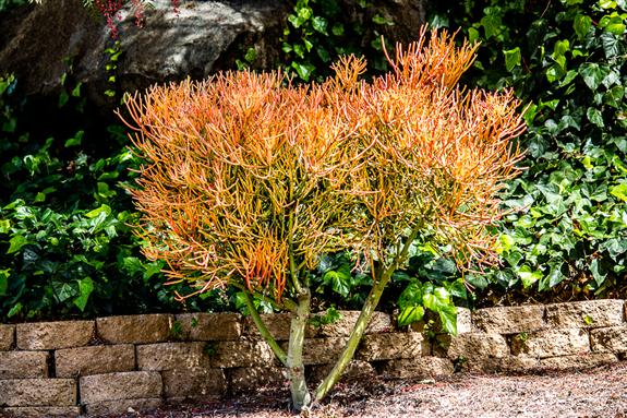 Euphorbia tirucalli 'fire sticks'
