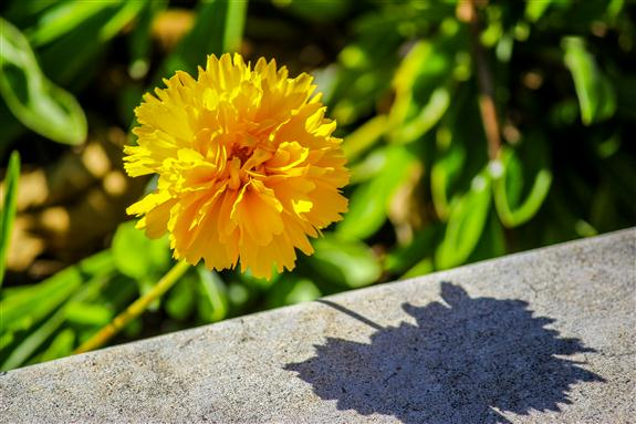 Yellow Flower and Shadow