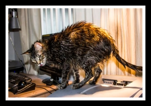 Zoey the Cool (wet) Cat