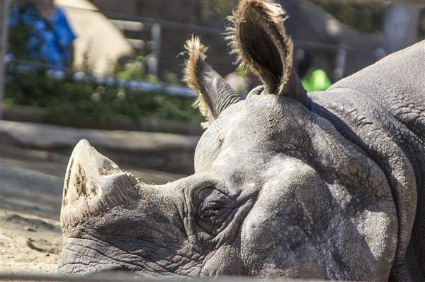 Rhinoceros at the San Diego Zoo