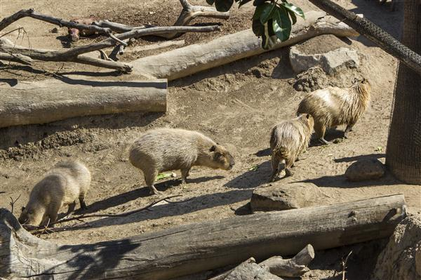Capybaras (world's largest rodent) at the San Diego Zoo