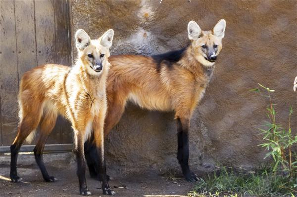 Maned wolves at the San Diego Zoo