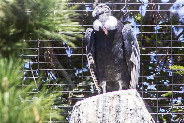 Andean condor at the San Diego Zoo