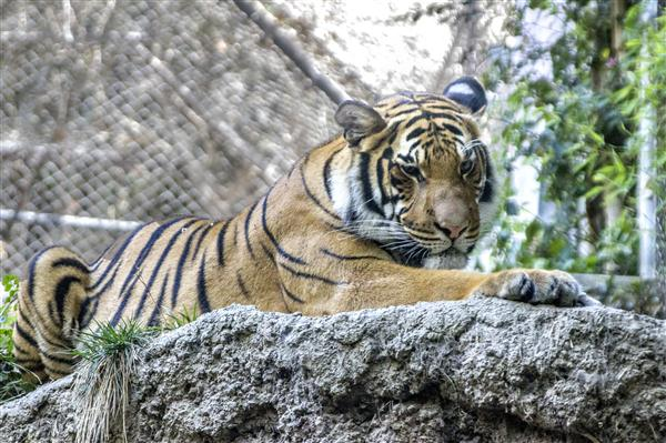 Malayan tiger at the San Diego Zoo