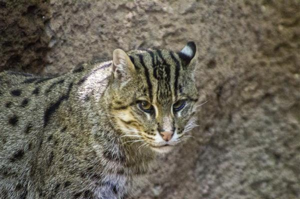 Fishing cat at the San Diego Zoo
