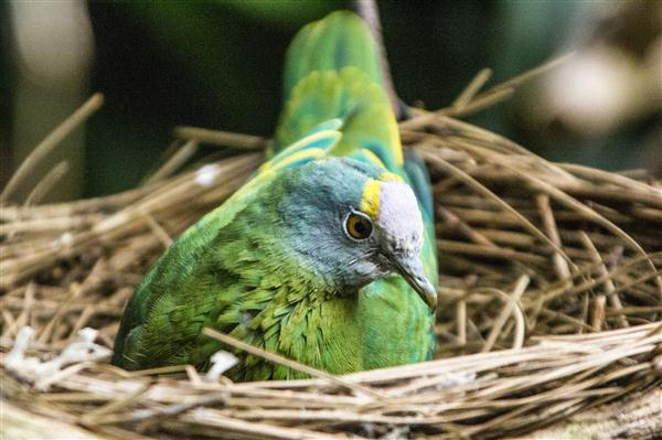 Coronated fruit dove at the San Diego Zoo
