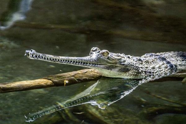 Gharial and reflection at the San Diego Zoo