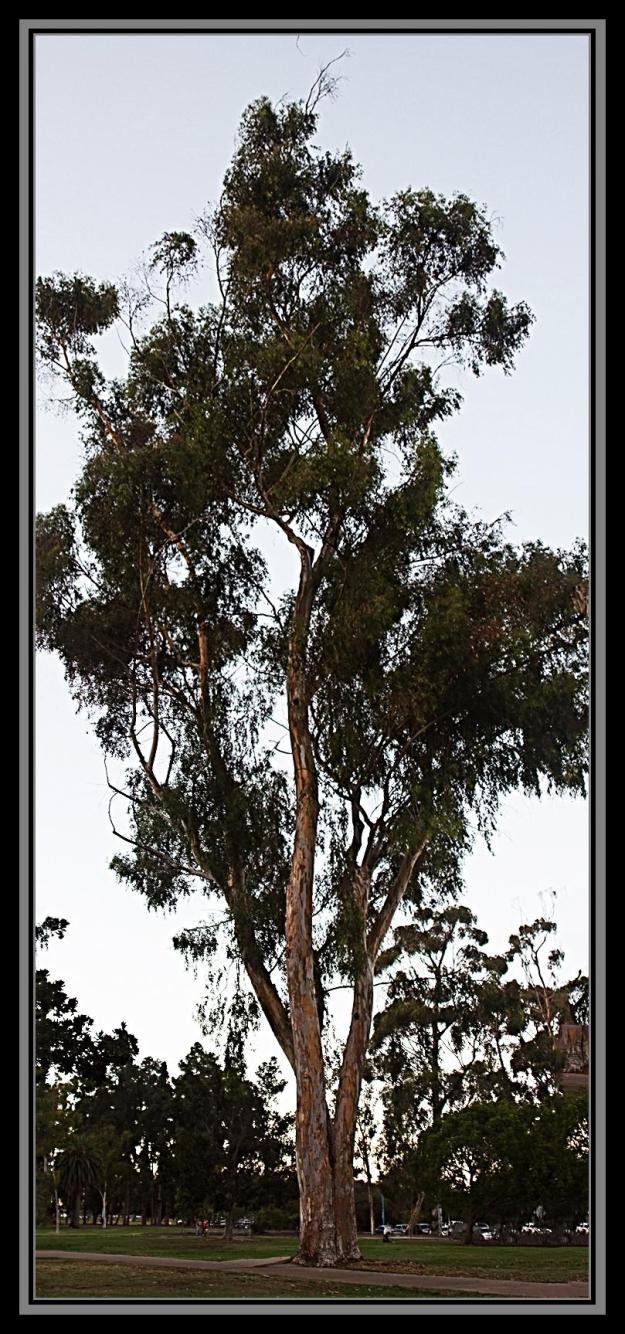 Eucalyptus tree, Balboa Park, San Diego