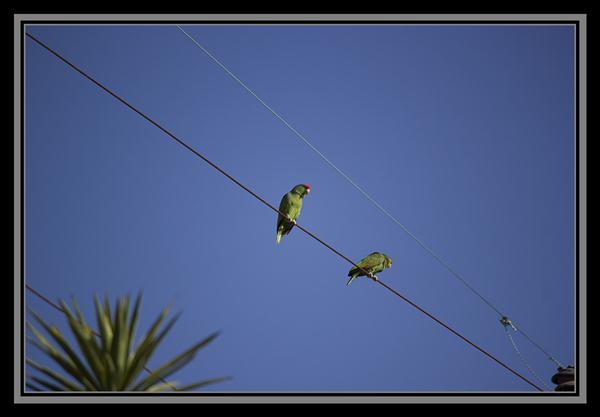 Wild parrots