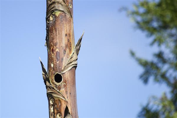 Woodpecker hole in a century plant