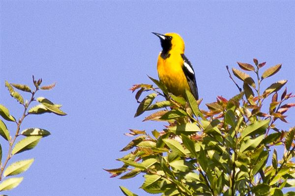 Black and yellow bird