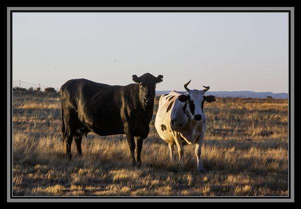 Cattle, State Route 94, San Diego County, California