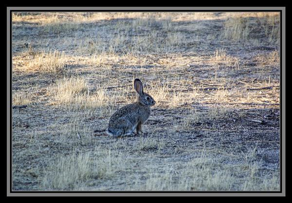Rabbit, State Route 94, San Diego County, California